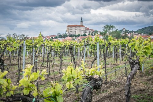 vineyard  castle  viticulture