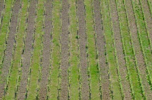 vineyard  vines  spring