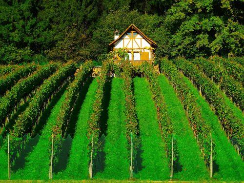 vineyard wine cultures vine plants