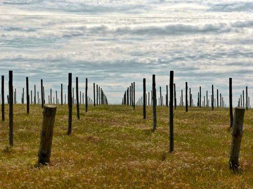 vineyard field sticks