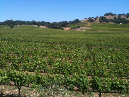 vineyard grapes wine
