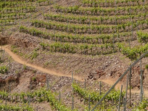 vineyard steep slope winegrowing