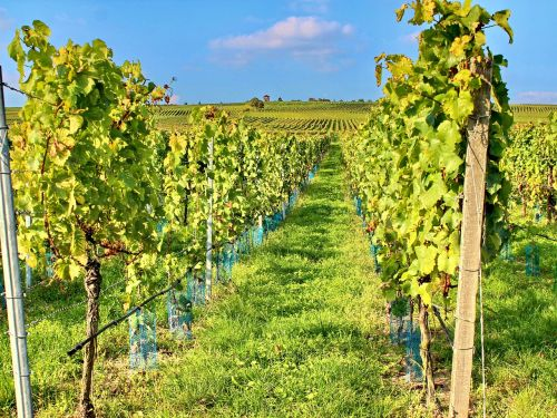 vineyard vines cat