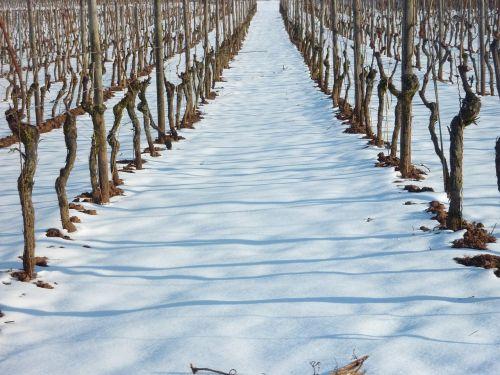 vineyard vineyard in winter vine