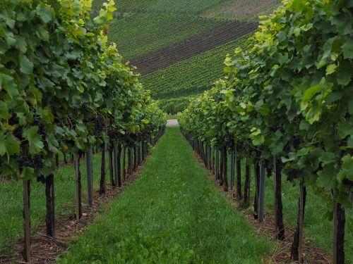 vineyard vines vitis