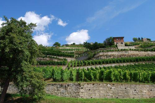 vineyard freyburg saale unstrut