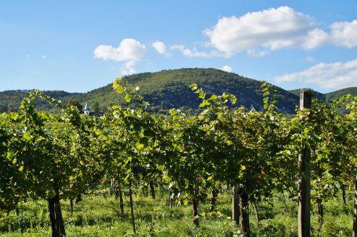 vineyard grapevine the grapes