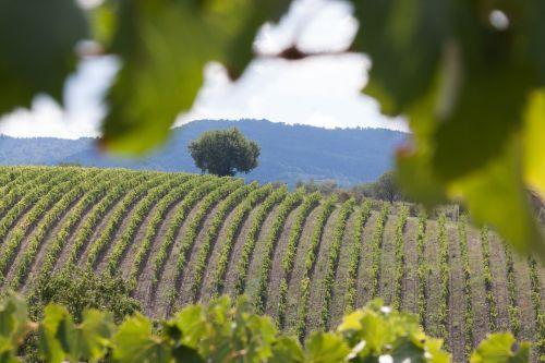 vineyard wine vine