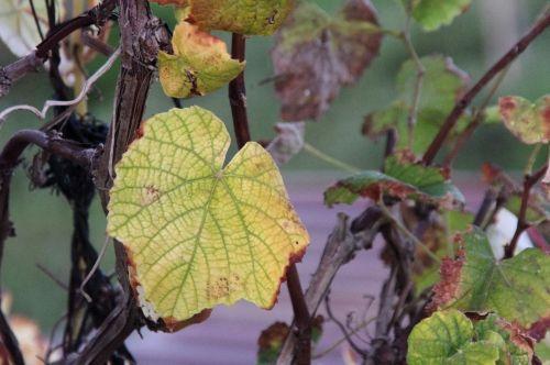 Vineyard Autumn Background