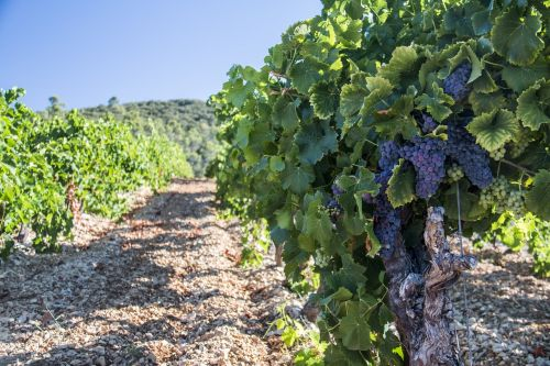vineyards vine grape
