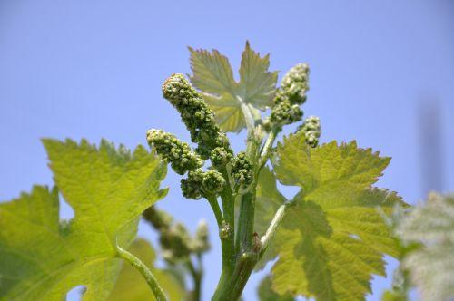 vineyards new shoots japan