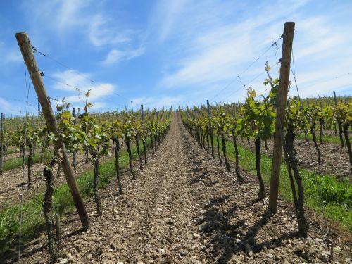 vineyards grapes vines