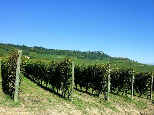 vineyards vines italy