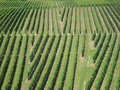 vineyards winegrowing nature