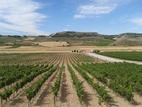 vineyards wine grape