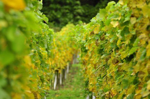 vineyards winegrowing vines