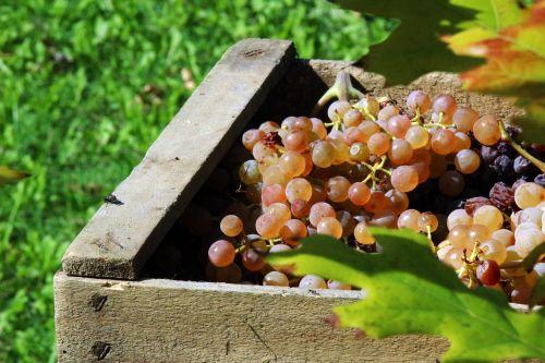 vintage grapes autumn