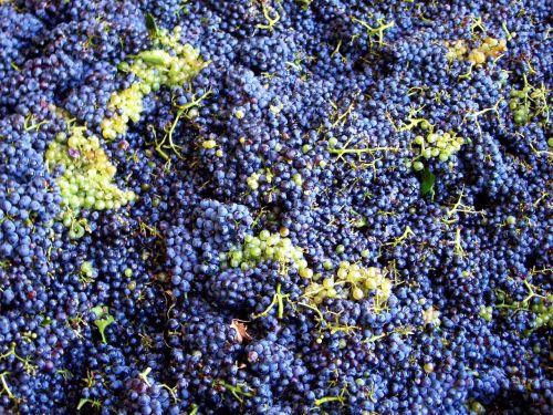 vintage grapes grape harvest
