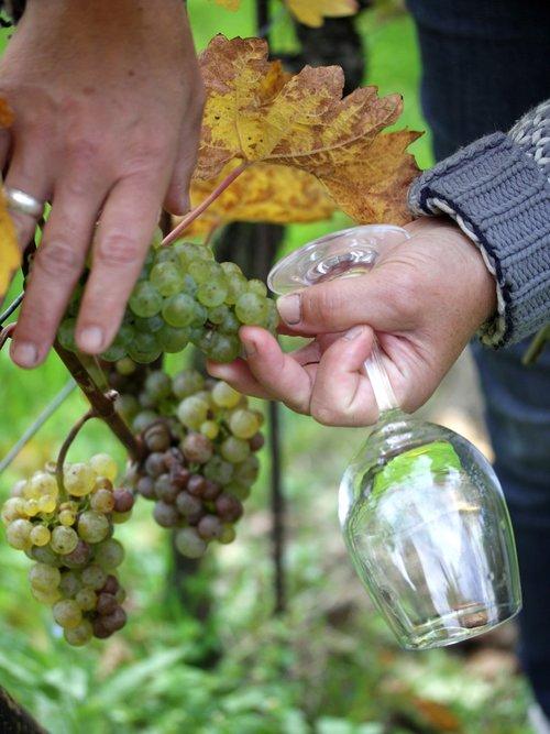 vintage  white wine  grapevine