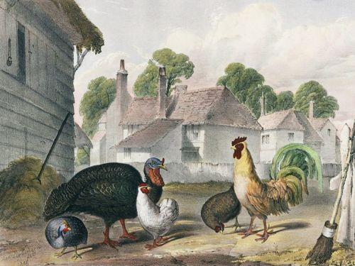 Vintage Chicken Image Retro