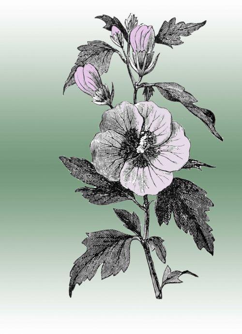 Vintage Woodcut Hibiscus Flower
