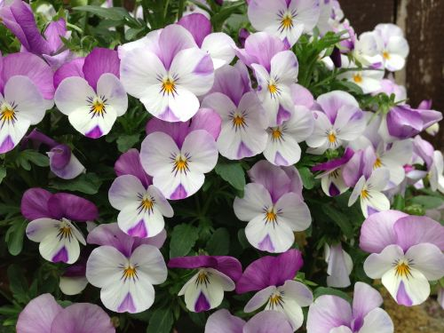 viola white purple