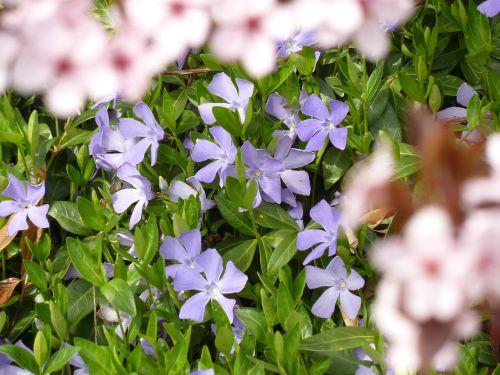 altas,purpurinė gėlė,gamta,violetinė gamykla,žiedas,žydėti,violetinė,blütenmeer,violetinė,pavasario pranašys,pavasaris