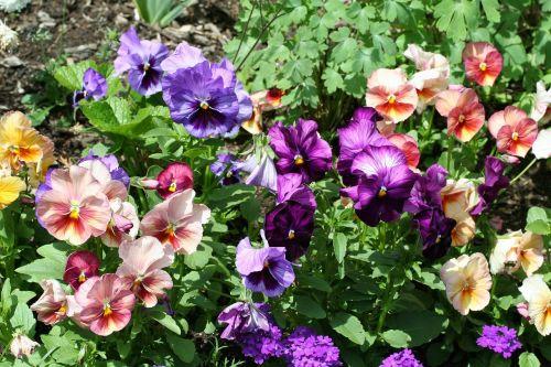 viola pansy pansies