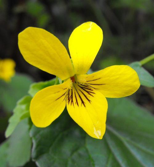 viola glabella flower yellow