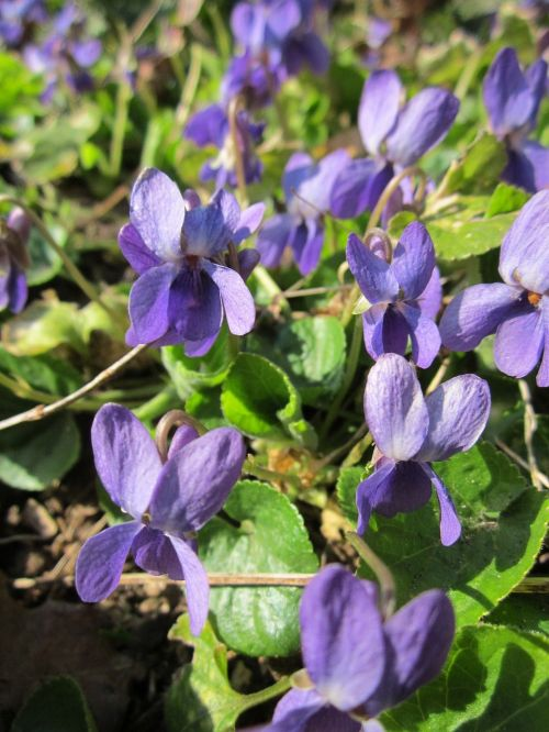 viola odorata wood violet sweet violet