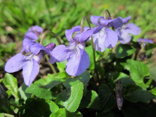 viola odorata, medžio violetinė, saldus violetinis, anglų violetinė, paprastoji violetinė, floristinė violetinė, sodo violetinė, wildflower, augalas, flora, botanika, rūšis, žiedas