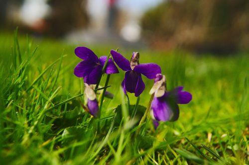 viola silvestris violets spring