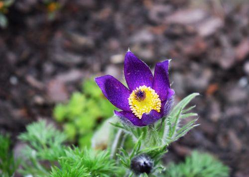 violet flower skalnik