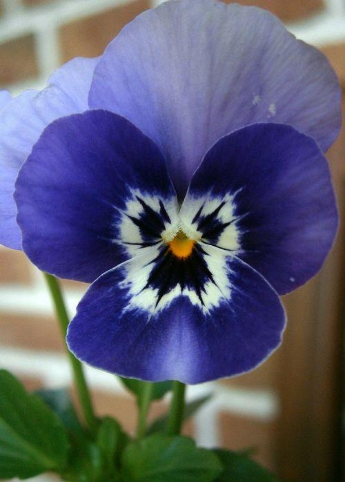 violet horn violet viola cornuta