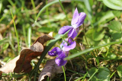 violet purple viola