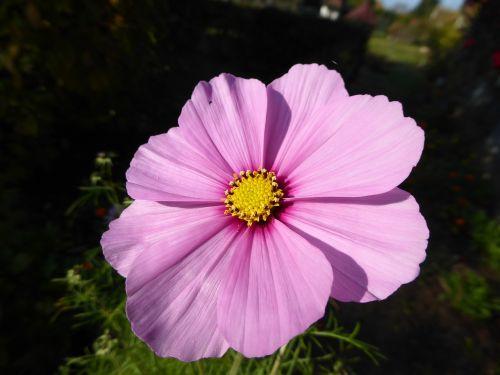 violet purple flower violet flower