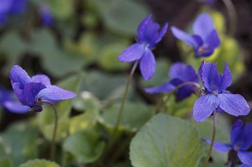 violet flowers plant