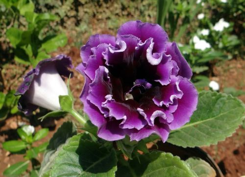 violet flower flora