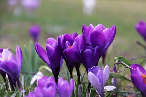 violet  krokus  garden