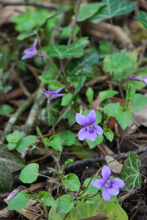 violet  woodland  flower