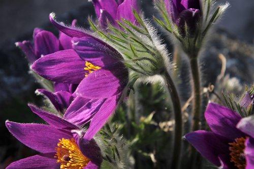 violet  sasanka  plant