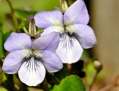 violet  forest  spring
