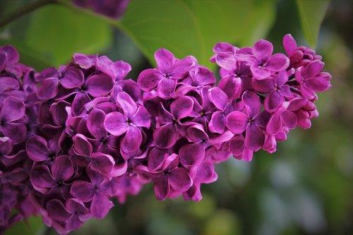 violet  sprig  branch
