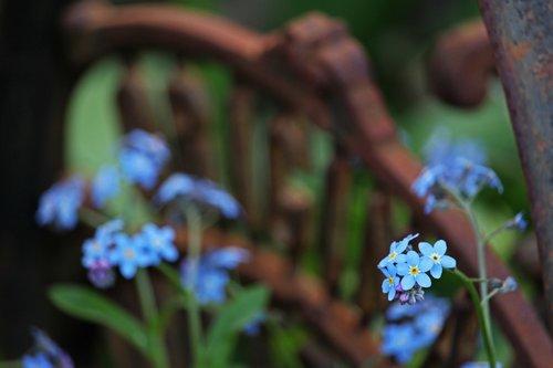 violet  flower bed  garden