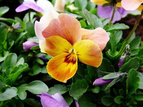 violet flower yellow