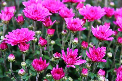 violet chrysanthemums  chrysanthemum  bloom
