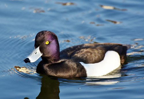 violet duck  small mountain duck  duck