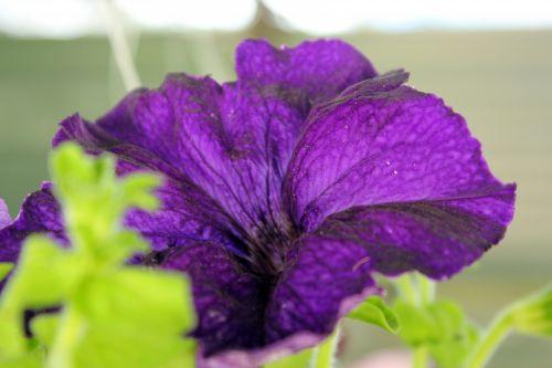 Violet Flower 4