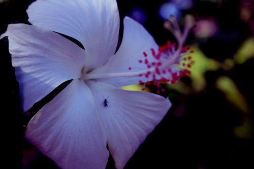 gumamela, gėlė, augalai, žiedadulkės, žiedlapiai, ant, violetinė gėlė su viena antruoju