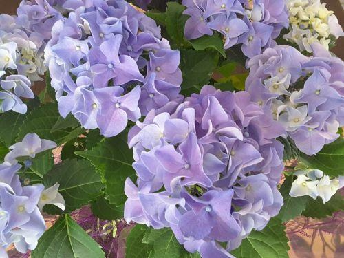 Violet Flowers 1